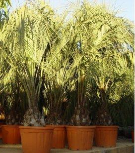 Butia Capitata palmier Abricot