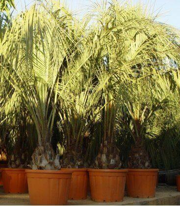 Butia Capitata -13° vente groupée palmier