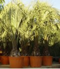 Butia Capitata -13 ° group sale palm tree