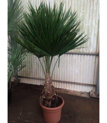 Brahea Edulis palmier rare stipe 20-30cm pot 45Lts hauteur totale 140-160cm