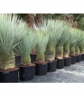 Yucca Rostrata grouped sale