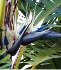 Strelitzia Augusta Bird of Paradise white flower and purple mandible