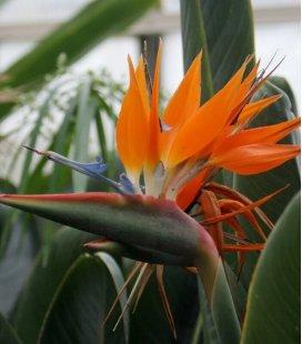 Strelitzia Reginae Oiseau du Paradis