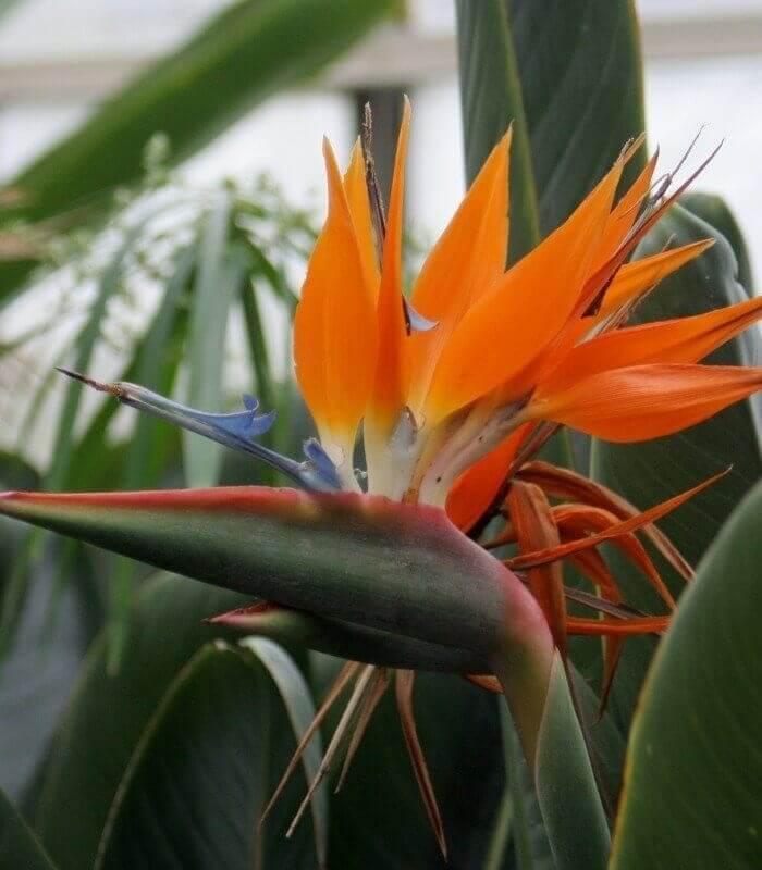 oiseau du paradis aux fleurs oranges. Black Bedroom Furniture Sets. Home Design Ideas