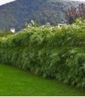 Haie de Bambou Fargesia Rufa bambou non traçant