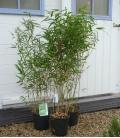 Hedge bamboo Fargesia Rufa