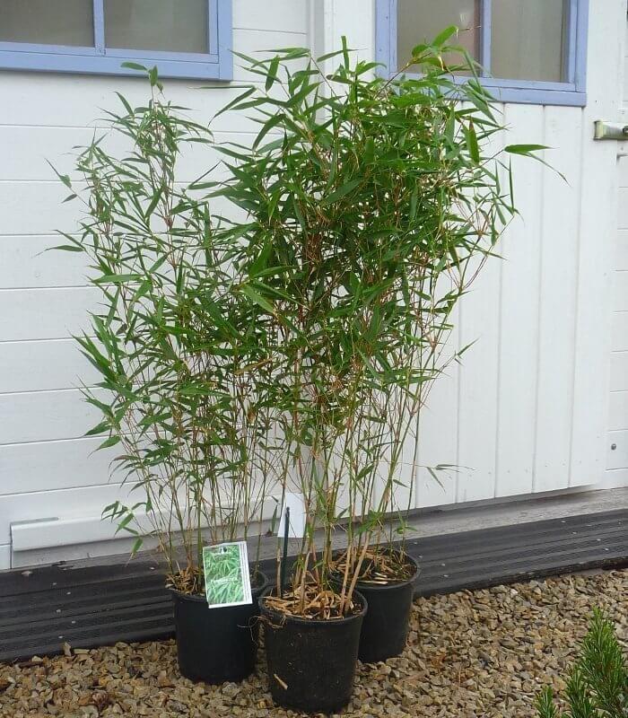 fargesia rufa bambou non tra ant
