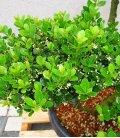 Ilex Crenata Green Hedge - Arbre Nuage pot 35L hauteur 60-80cm
