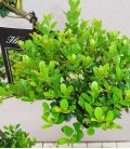 Ilex Crenata Green Hedge - taille S - Arbre Nuage pot 15L hauteur 80-100cm