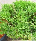 Juniperus Pfitzeriana 'Old Gold' cloud tree of good quality c30L height 80-100cm