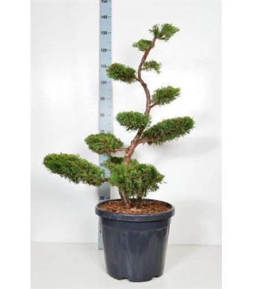 Juniperus Pfitzeriana Old Gold niwaki jaune or