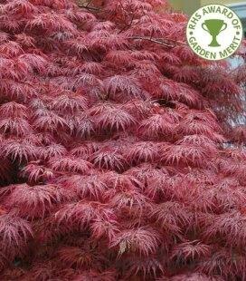 Acer Dissectum Garnet feuillage