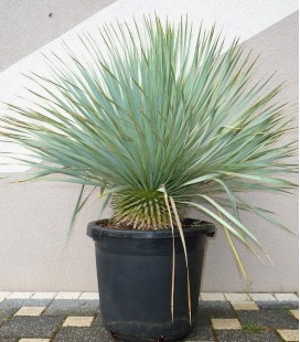 Yucca Rostrata c30L total height 90-110cm pineapple palm