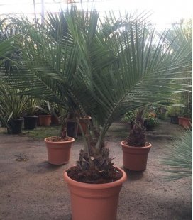 Jubaea Chilensis, coconut palm