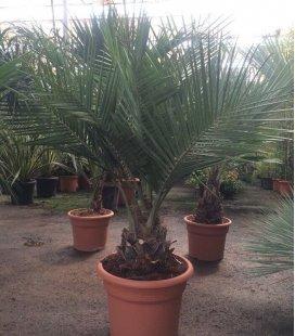 vente groupé palmier Jubaea Chilensis, cocotier du chili pot 45 litres, tronc 15-20cm hauteur totale 100-125cm