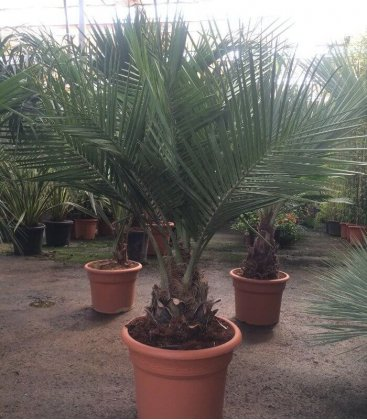 selling grouped palm Jubaea Chilensis, coconut palm chili pot 45 liters, trunk 15-20cm total height 100-125cm
