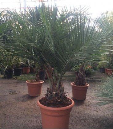 Jubaea Chilensis, coconut Chile
