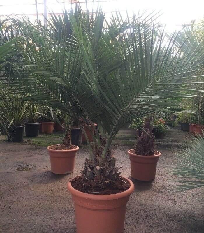 Vente group palmier 2017 jubaea chilensis cocotier du chili - Palmier cocotier ...