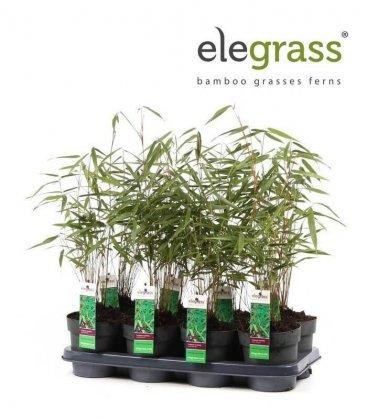 Bambou Fargesia Scabrida Asian Wonder P14 Elegrass lot de 8