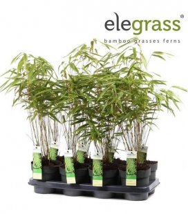 Batch of 8 bamboo Fargesia Rufa grouped sale elegrass P14