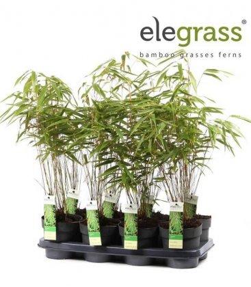 Lot de 8 bambou Fargesia Rufa vente groupée elegrass P14