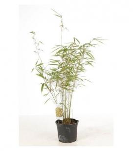 Bamboo Fargesia Rufa