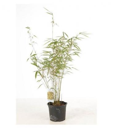 Fargesia Rufa non-tracing bamboo