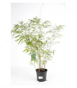 Bamnou fargesia rufa, pot of 3 liters height 60 to 80cm special hedge, grouped sale.
