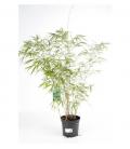 Bamnou fargesia rufa, pot de 3 litres hauteur 60 à 80cm special haie, vente groupée.