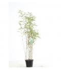 Special haie Fargesia Rufa bambou non traçant hauteur 60-80cm pot de 3 litres vente groupée
