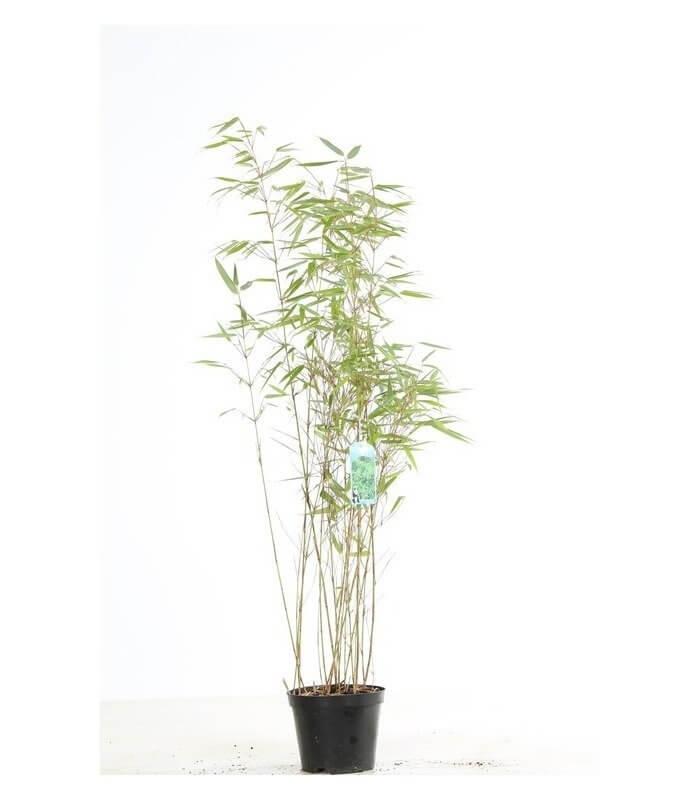 fargesia rufa bambou non tra ant. Black Bedroom Furniture Sets. Home Design Ideas