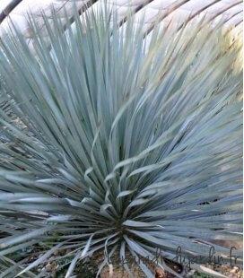 Yucca Rostrata Grand sujet tronc 125cm palmier ananas yucca bleu résistant au froid