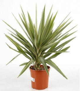 Yucca elephantipes 'Jewel' c5 liters height 70-80cm pot included