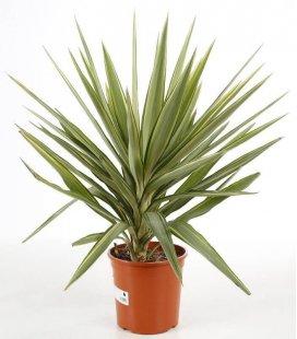 Yucca elephantipes 'Jewel' c5 litres hauteur 70-80cm pot inclus