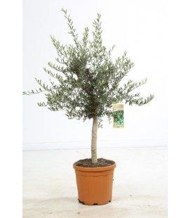 olea europaea olivier europe demi tige pot jumbo 200 litres specimen. Black Bedroom Furniture Sets. Home Design Ideas