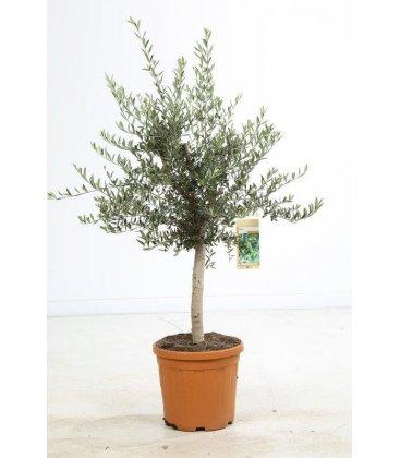 Olea Europaea, Olivier Europe Pot 25 litres hauteur 140/160 pot inclus.
