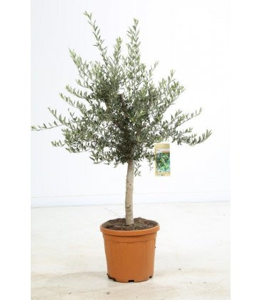 Olea Europaea, Olivier Europe Pot 25 liters height 140/160 pot included.