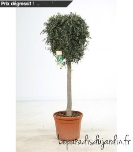 Olea Europaea, Olivier Europe half stem Special pot 45 liters height 160-180cm