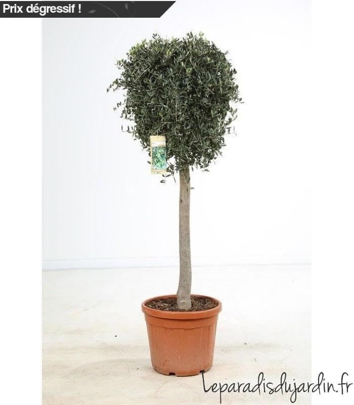 olea europaea olivier europe demi tige pot 45 litres hauteur 160 180cm. Black Bedroom Furniture Sets. Home Design Ideas