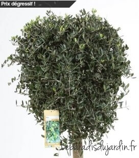 Olea Europaea, Olivier Europe half stem Special edition can of stocks