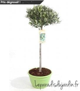 Olea Europaea, Olivier Europe half stem Pot green 35cm