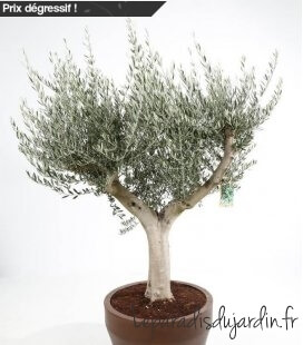 Olea Europaea, Olivier Europe Pot Jumbo 200L hauteur totale 180/210cm pot inclus