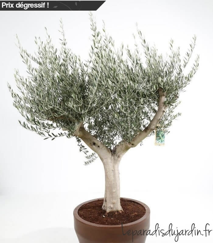 olea europaea olivier europe demi tige pot jumbo 200 litres specimen. Black Bedroom Furniture Sets. Home Design Ideas