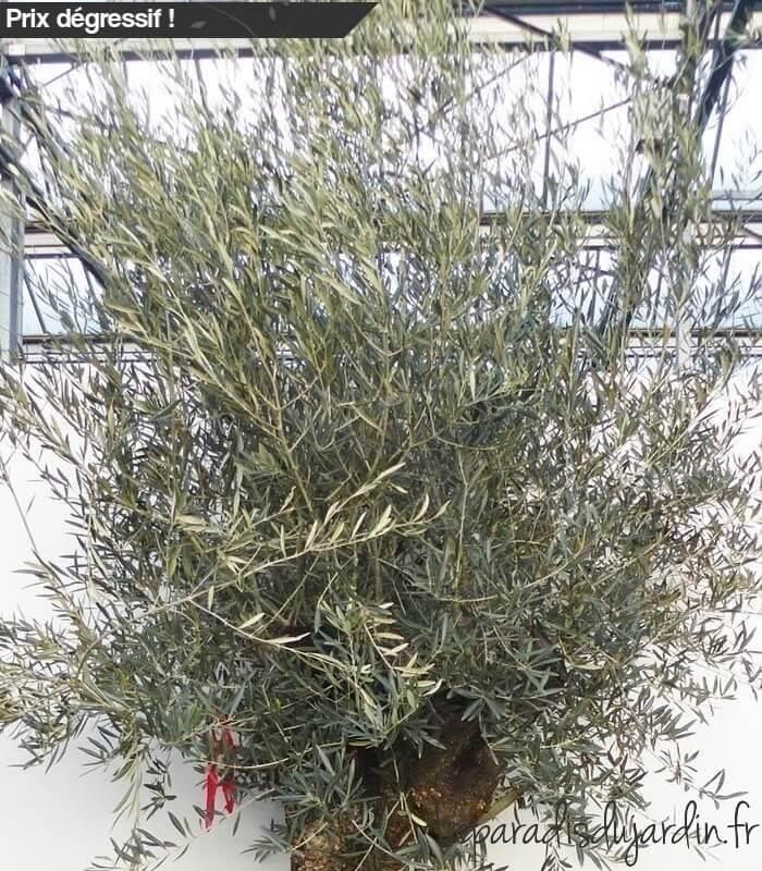 Olea europaea olivier europe mini bonsai pot 280l hauteur 225 250cm - Olivier olea europaea prix ...