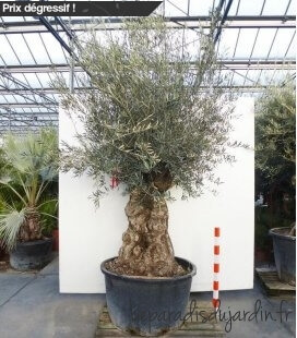 Olea Europaea, Olivier Europe Mini Bonsai 280L