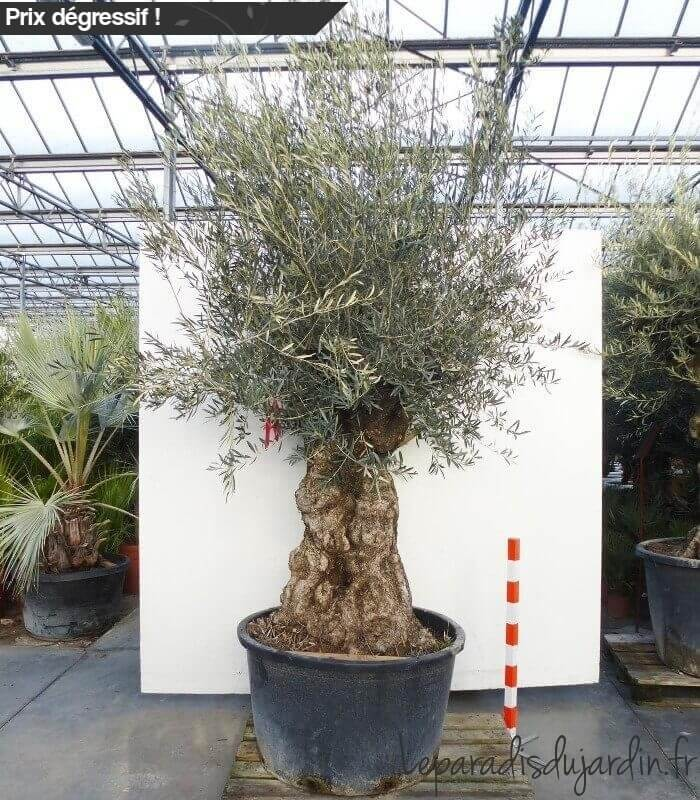 Olea europaea olivier europe mini bonsai pot 280l hauteur 225 250cm - Olivier en pot prix ...
