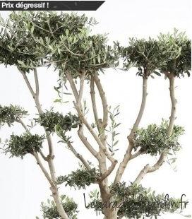Olea Europaea, Olivier Europe Plateaux mini bonsai caisse bois 60x60cm hauteur 180/210cm