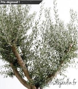 Olea Europaea, Olivier Europe half-stem 30L total height 180 / 210cm