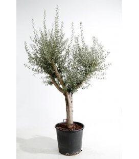 Olea Europaea, Olivier Europe demi-tige 30L hauteur totale 180/210cm