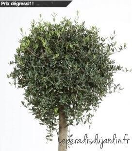 Olea Europaea, Olivier Europe Boule demi tige pot déco 35Litres